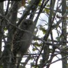 305_Barred owl watching_large 10