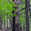 Falling Springs Forest Tour 026
