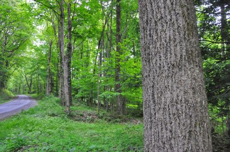 Hominy Falls Forest 005