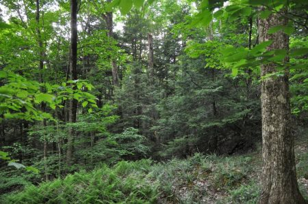Hominy Falls Forest 008