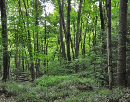 Hominy Falls Forest 010