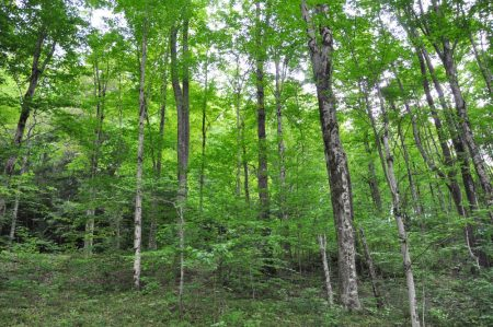 Hominy Falls Forest 013