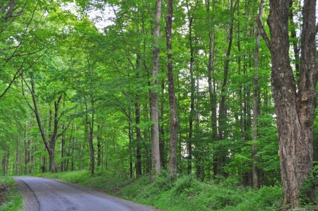 Hominy Falls Forest 001