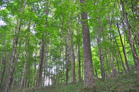 Hominy Falls Forest 004