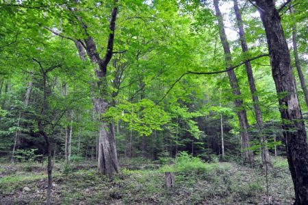 Hominy Falls Forest 009