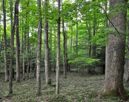 Hominy Falls Forest 016