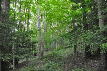 Hominy Falls Forest 017