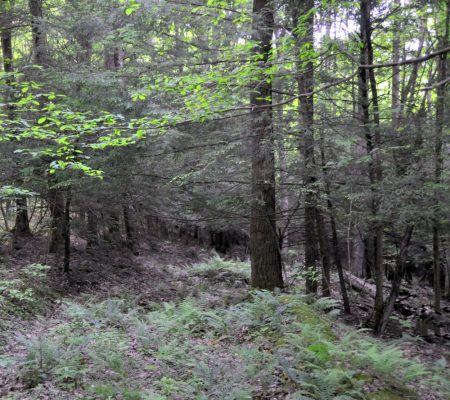 Hominy Falls Forest 018