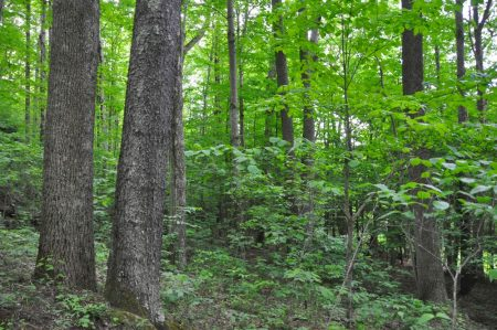 Hominy Falls Forest 019